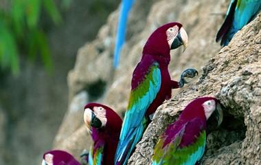 Macaws in Puerto Maldonado