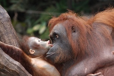 Orang Utan with baby in Gunung Leuser National Park, Sumatra