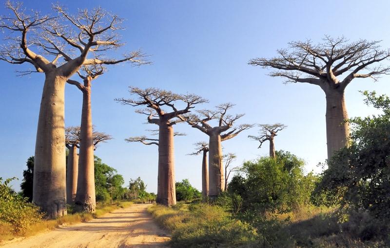 Koning Aap: Rondreis MADAGASKAR - 31 dagen; Ringstaartmaki's en baobabs