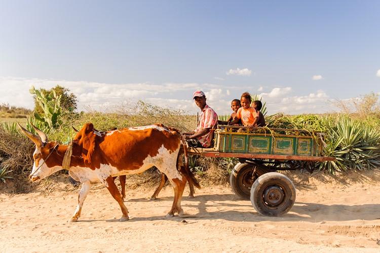 Familie met zebu en wagen - Madagascar