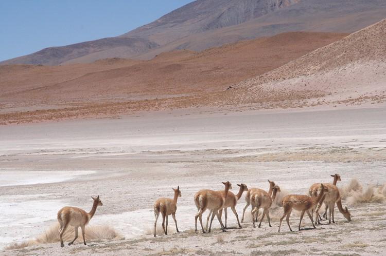 Vicuña's - Bolivia