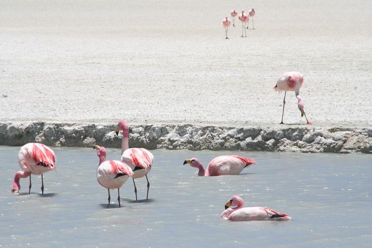 Flamingo's in de vele meren die je passeert - Bolivia