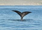 Een walvis voor de kust van Hermanus