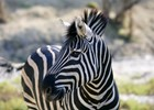 Beautiful_african_Zebra_=-_shutterstock_48103411.jpg