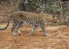 Leopard Yala