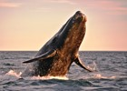 Powerful%20Whale%20flying%20-%20shutterstock_15699713%20-%20ed6.jpg