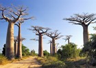 Avenue%20of%20baobabs%20tree%20at%20Madagascar%20-%20shutterstock_41112340.jpg