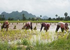 Farmers are planting rice - Parmna - shutterstock_295823600.jpg