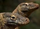 Komodo varaan - Indonesië rondreizen