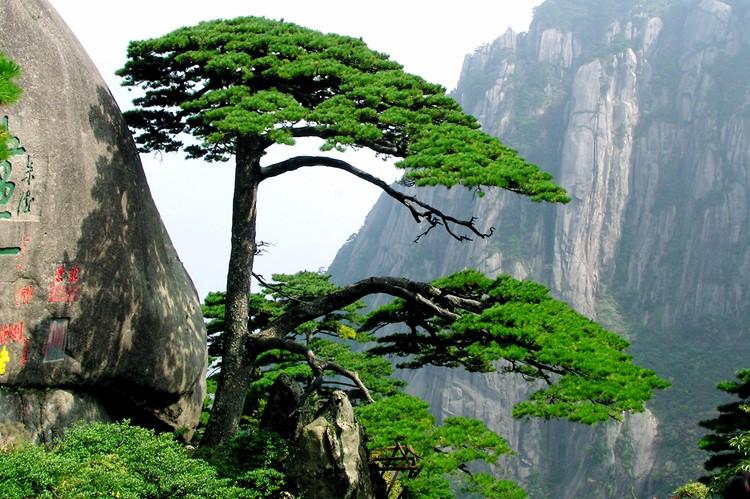 Ene pijnboom in het Huangshan-gebergte