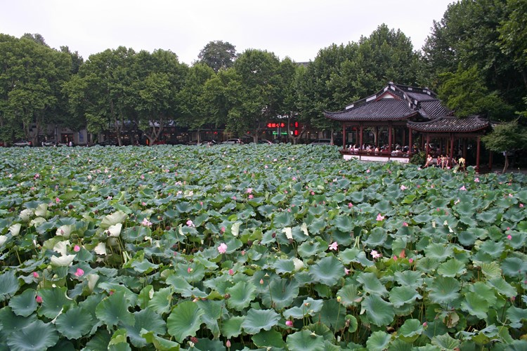 Lotussen in het West meer in Hangzhou
