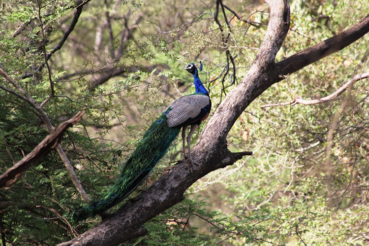 Pauw in Ranthambore - India