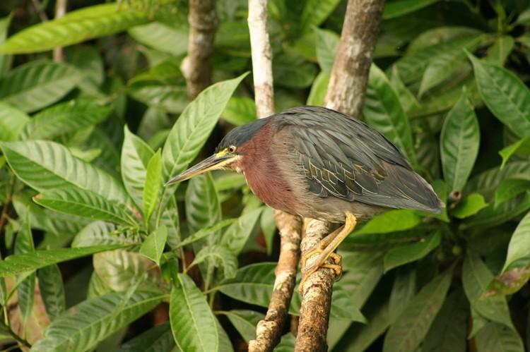 In Tortuguero vind je veel vogelsoorten