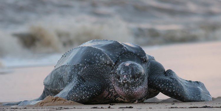 Tortuguero is een bekende broedplaats voor de lederschildpad