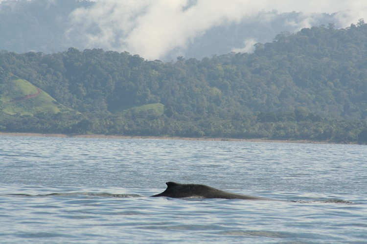 Bultrugwalvis in Drake Bay, Costa Rica