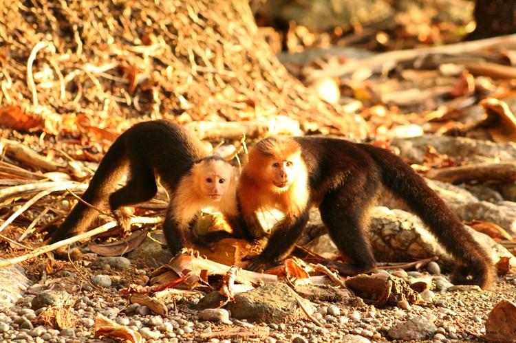 Kapucijnaapjes op het strand van Drake Bay eten een kokosnoot, Costa Rica