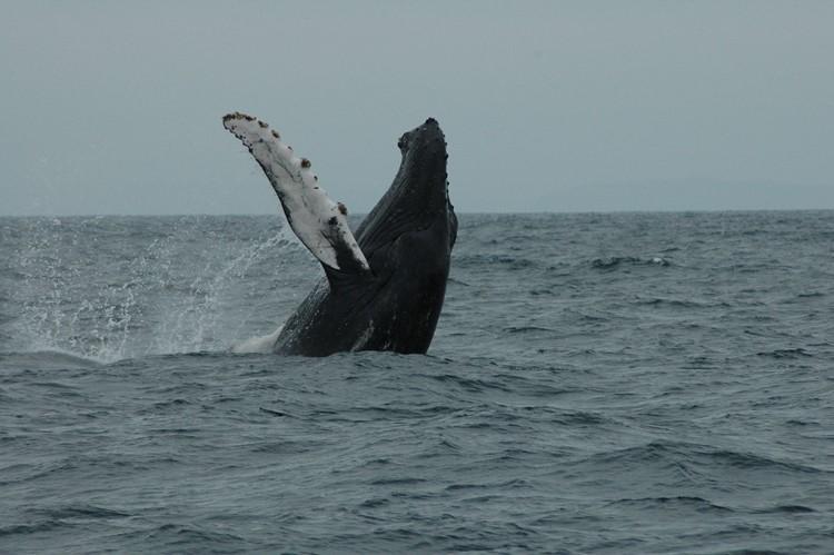 Walvissen voor de kust van Puerto Lopez - Ecuador