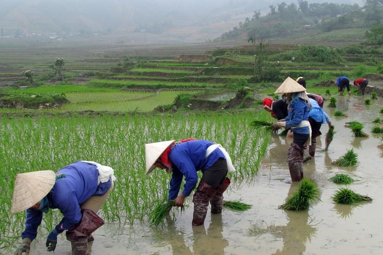 Het oogsten van de rijst in Sapa, Vietnam