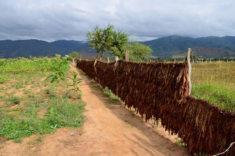 Tabaksbladeren drogen langs de weg naar Samaipata - Bolivia