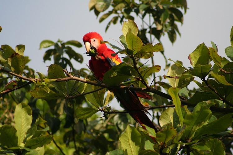 Reise Costa Rica - Papagei