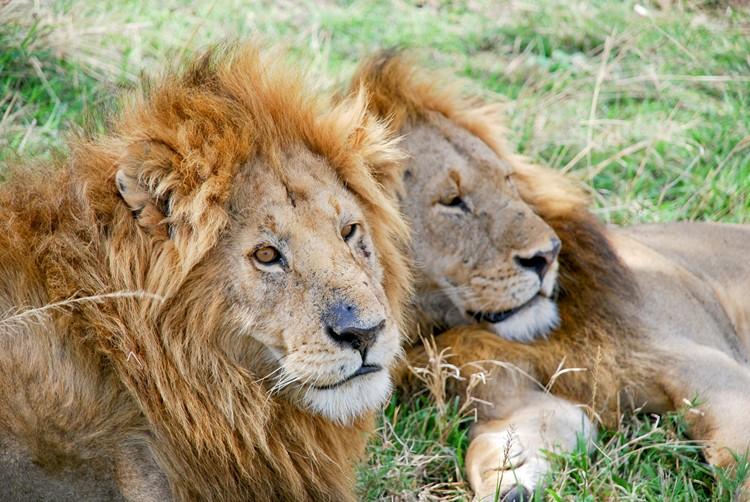 Leeuwen in het Kruger Nationaal Park - reis Zuid-Afrika