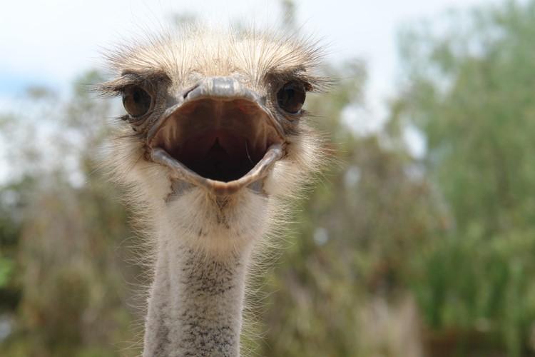 Een struisvogel in Oudtshoorn - reis Zuid-Afrika