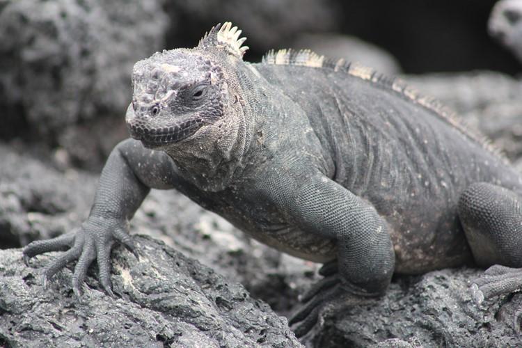 Leguanen op Isabela - Galápagos - Ecuador