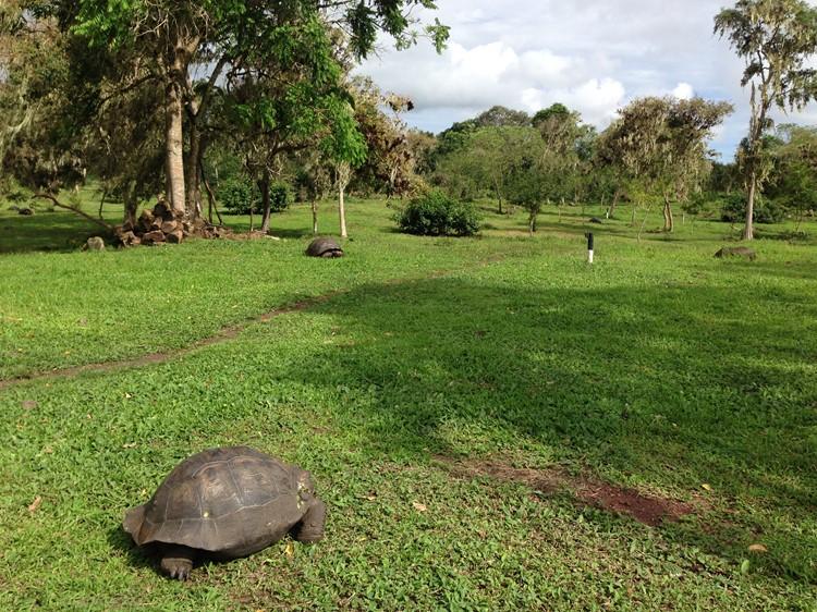 Reuzenschildpadden in de hooglanden van Santa Cruz - Galápagos - Ecuador